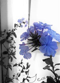 monochrome blackandwhite flower colorsplash lilah