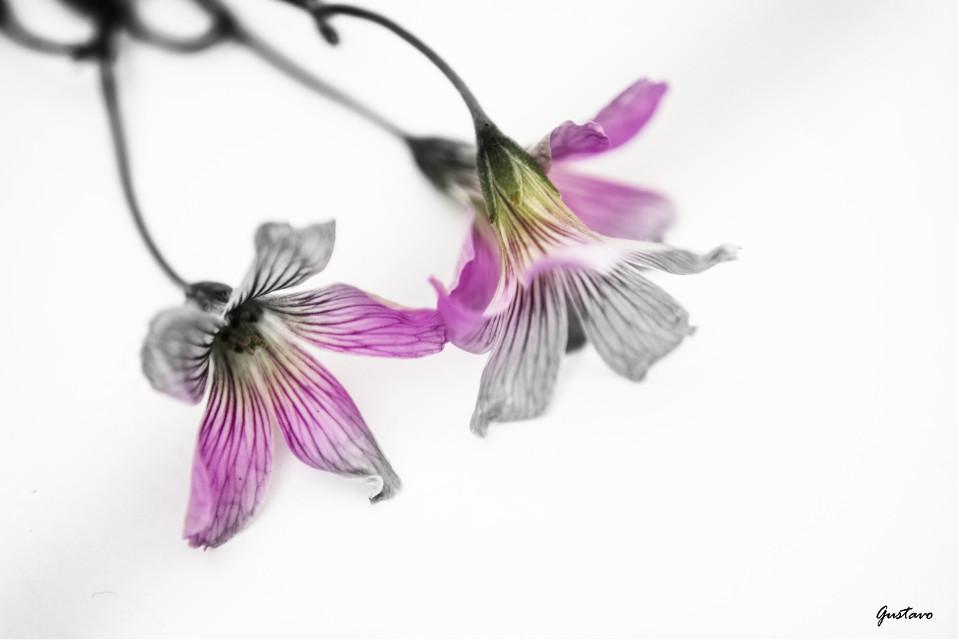 #blackandwhite #colorsplash #flower #love #photography #bnw  #nature