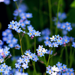 blue flowers nature photography freetoedit wppflowers dpcpopofcolor