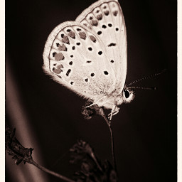 butterfly blackandwhite toned coppertoning nature