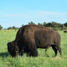 bison buffalo oklahoma plains prairie