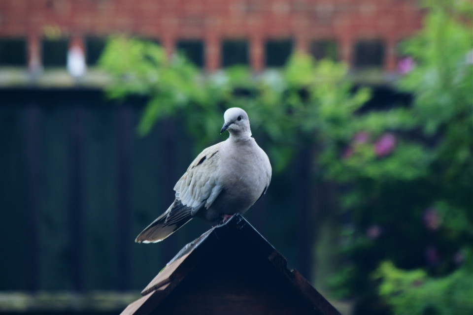 This collard dove came to check out my new bird table #nature #birds #closeup #myview #mygarden #adjusttool #dodger #featured