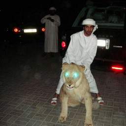 muslims arab lion night pet
