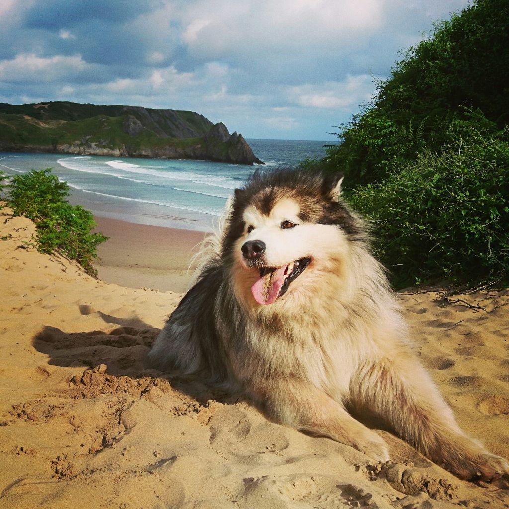 #malamute  #marleythemalamute  #beach #wales  #Gower  #threecliffs #coast  #landscape  #petsandanimals #photography