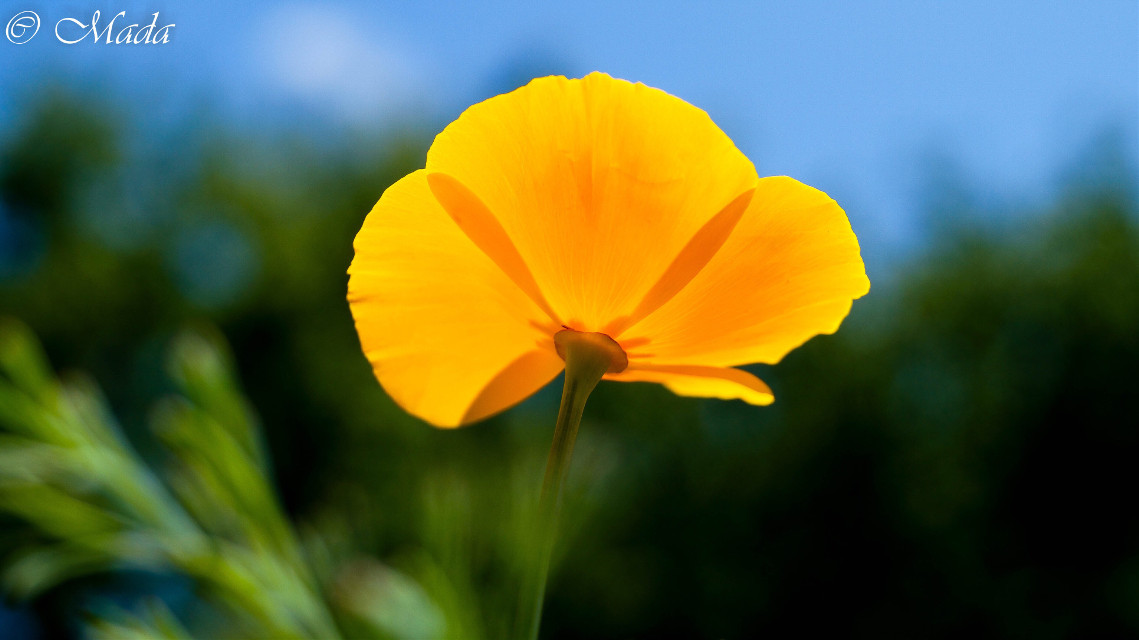 Golden yellow #interesting #beautiful #nature #flower #photography #illuminated #spring #yellow #sunlight #photography