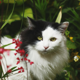 petsandanimals cat blackandwhite bokeh colorful wppcatears wppwhite dpccats dpcpets dpcanimaleyes dpcfavoriteobject dpccat freetoedit