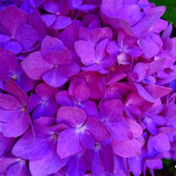 myfavorite blossom flower plants hydrangeas