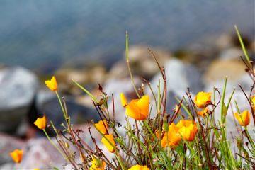 freetoedit nature poppys california flowers