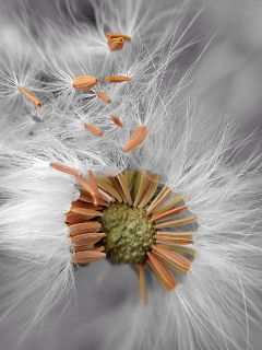 iphonephotography iphone5camera dandelion macro colorsplash