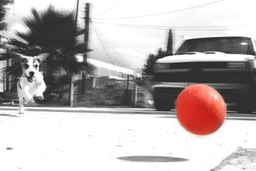 dog play red ball