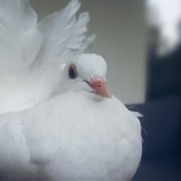 dove dovelove petsandanimals birdphotography