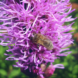 nature mygardenflowers bee naturephotograpy