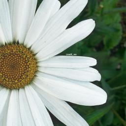 kamille camille flower flowerpower gardenflower