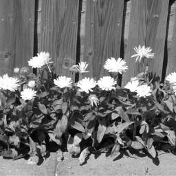 blackandwhitenature nettesdailyinspiration photography flowers